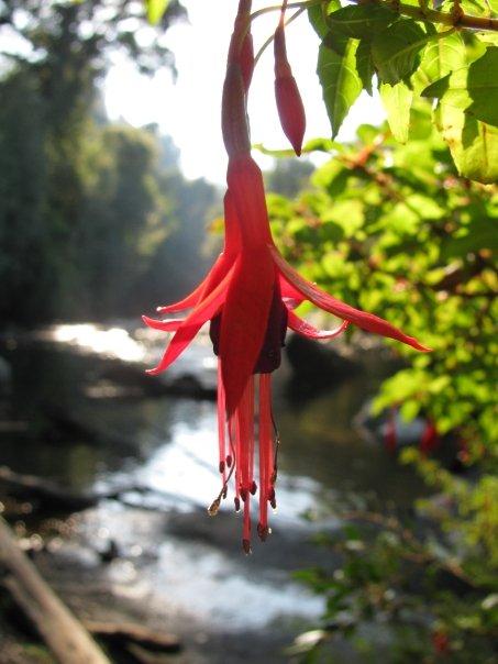 Puyehue, Blüte